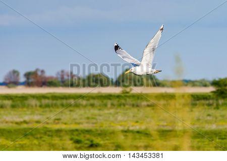 Photo of flying seagull in Danube Delta