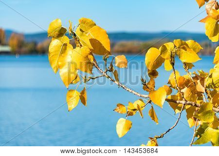 Bright yellow poplar leaves with blue lake water on the background. Autumn foliage with sun specks on sunny day. Selective focus shallow DOF