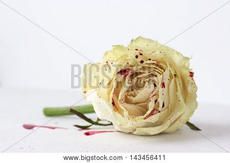 white rose with blood on white background