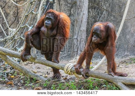 two lovely orangutans hold on the timber