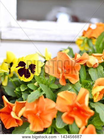 Yellow pansies in a flower bed, selective focus.