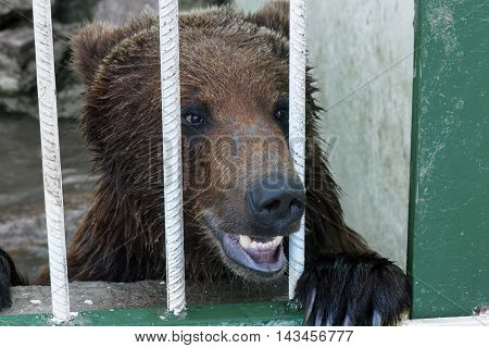 Bear Looking Out Through The Cage