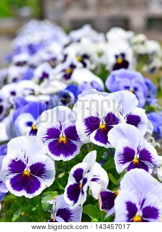 Purple and white pansies in a flower bed, selective focus.
