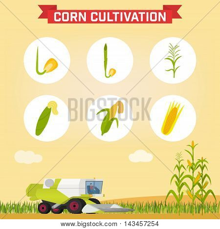 Infographics the growing corn. Growth stages from seed to adult plant. Combine for harvesting corn in the field. Vector illustration