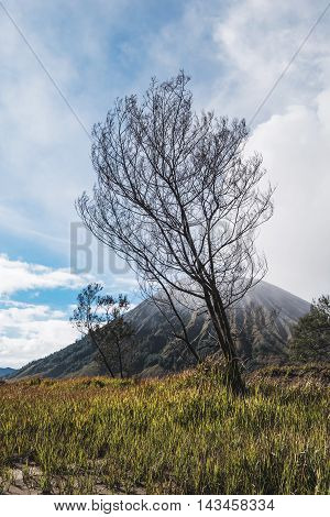 Dead tree with branches at volcano Mount Bromo, Indonesia