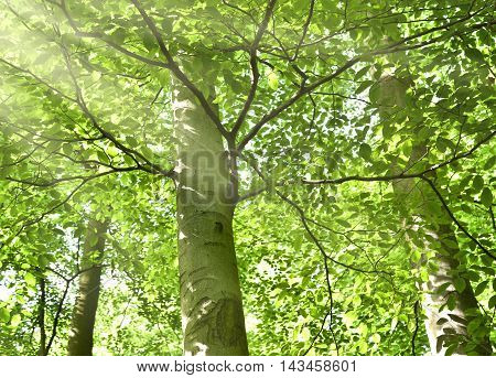 Idyllic forest background with green tree tops and rays of sun falling through. Copy space.