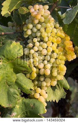 The yellow grape hanging in the wineyard