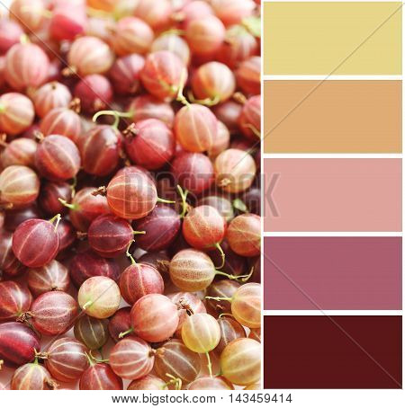 Ripe And Sweet Gooseberries Fruit Background With Colour Palette