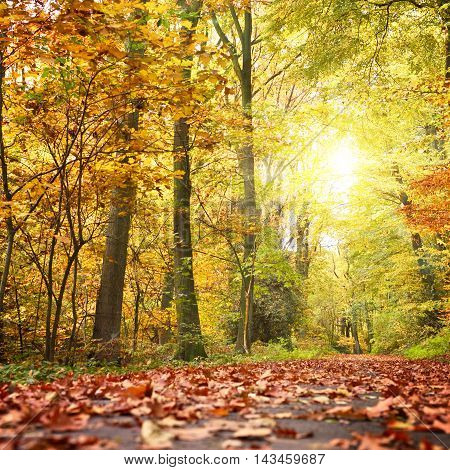 Idyllic autumn forest scene with footpath full of multicolored autumn leaves, colored trees and bright sunbeam.
