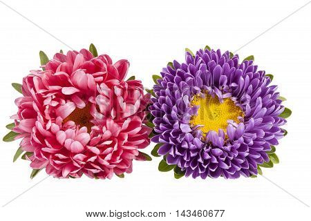 Aster flowers isolated on white background .