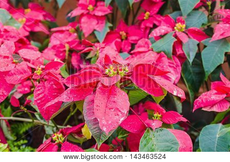 Beautiful red poinsettia with water droplets in the garden