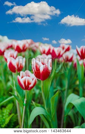 Red tulips with blue sky and cloud