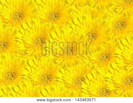yellow chrysanthemum isolated on white background .