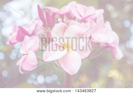Soft background, sweet color of plumeria flowers.