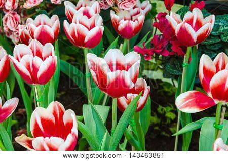 beautiful bloom red tulips flower natural background