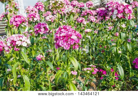 Sweet William Flower in the natural garden