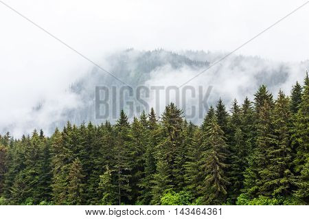 Evergreen covered trees in the mist in Alaska