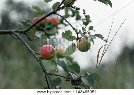 Rustic Apple With Red Apples On Green Background