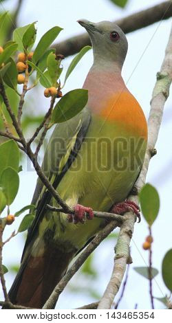 male Pink-necked Green Pigeon in fruit tree, Nakhon sri Thammarat area, Thailand