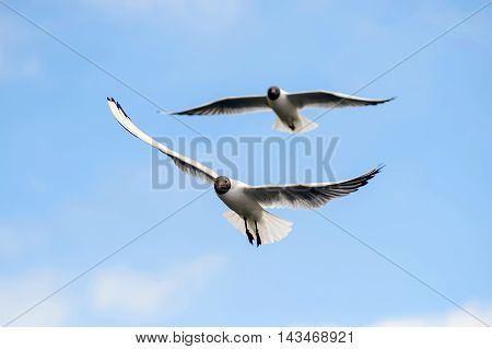 Gulls soar in the blue sky. Seagulls flying high in the clouds. Free wild birds seagulls with the black heads.