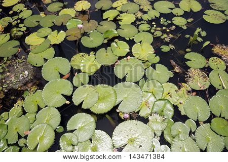 The details of lotus leaves over water in sunlight