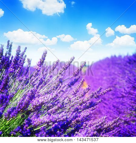 Lavender field with bright summer blue sky close up, France, toned