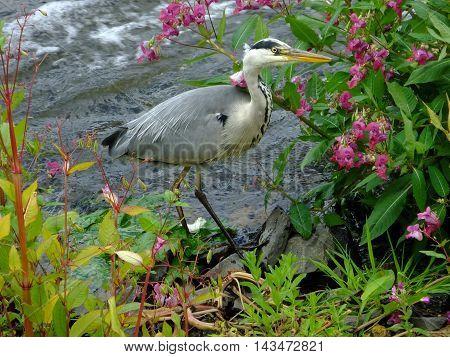 Beautiful Grey Heron at the riverside edge