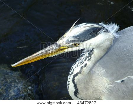 Grey Heron close up with water in background