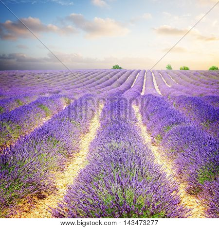 landscape with rows of lavender field under sunrise blue and pink sky, France, toned