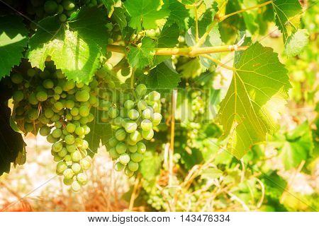 Vineyard green grapevine with growing white grape, Provence France, toned