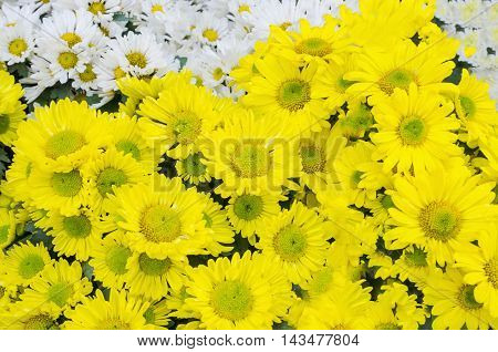 beautiful bloom yellow chrysanthemums flower background .