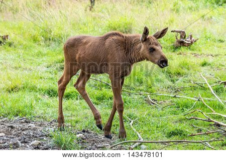 Elk Calf (cervus Canadensis) Walking In Woods.