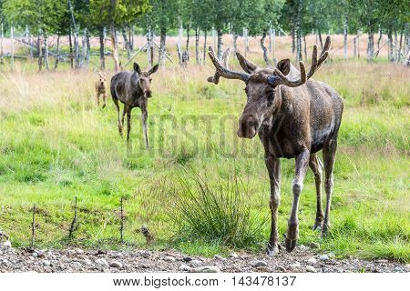 Elk Family On A Hike (cervus Canadensis)