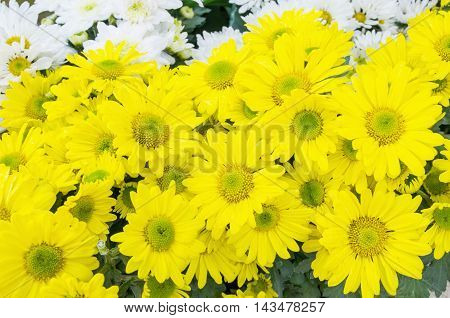 beautiful bloom white and yellow chrysanthemums flower background .