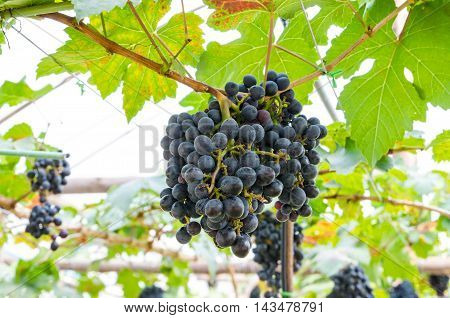 Bunches of red grapes hanging on the vine