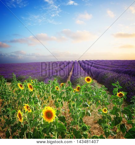 Sunflower and Lavender flowers field at summer sunset, Provence, France, toned