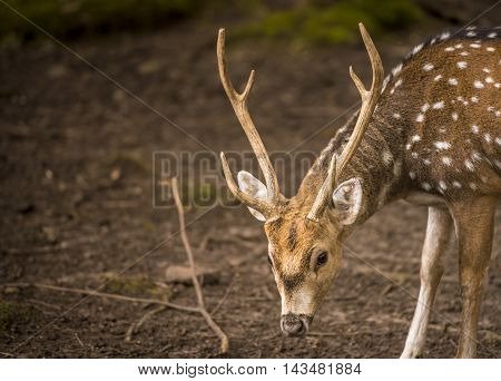 Axis deer buck with its beautiful symmetrical antlers. Picture taken in the Pforzheim Wild Park, Germany.