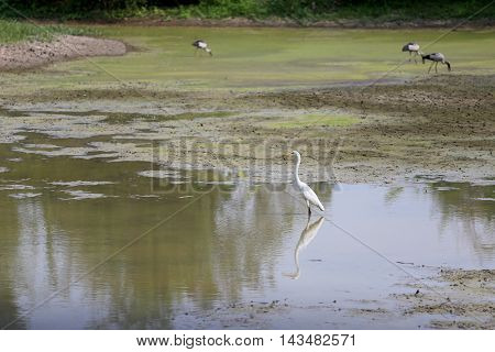 white egret stand in the pond for Search for food.