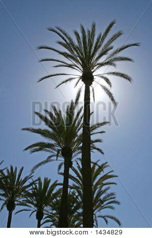 Sunlit Palm Tree