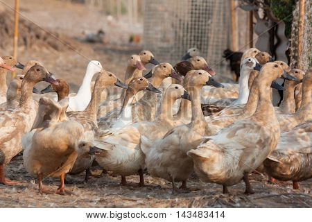 Many Brown ducks in farm agriculturist Area