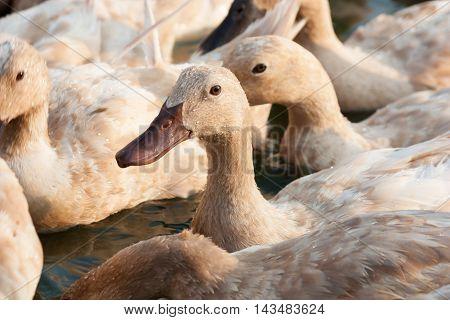 Many Brown ducks live in farm swiming