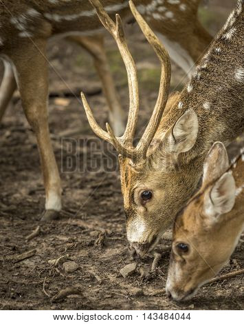 Close up with axis deer's head and antlers of a spotted deer buck, while it was  searching for food on the ground.