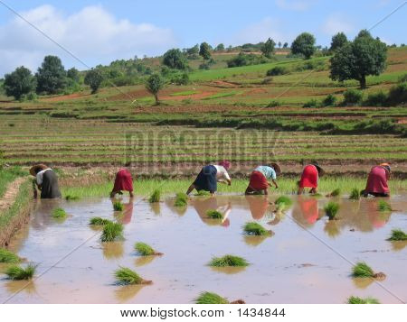 Several Farmer Women Working In A Ricefield, Kalaw, Myanmar