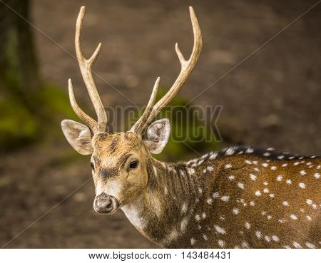 Spotted deer buck portrait image - Portrait with a young and people friendly axis deer buck living in the Wild Park from Pforzheim Germany.