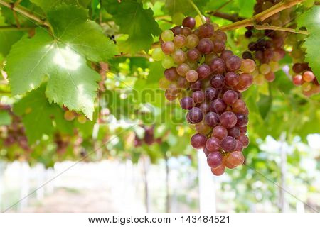 Red Grapes in the vineyard agriculturist Area