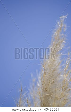Close up of wisps of ornamental pampas grass out of focus against clear blue sky in vertical format with space for text.