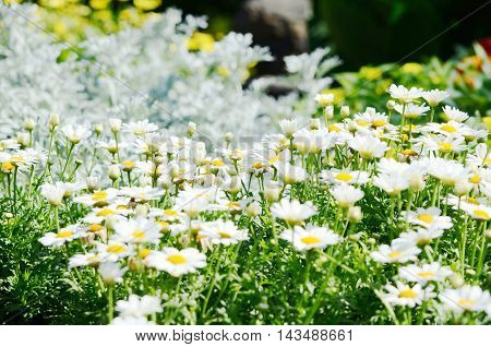 white chamomile flowers in the summer day