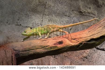 Chameleon on a branch against a background of rocks