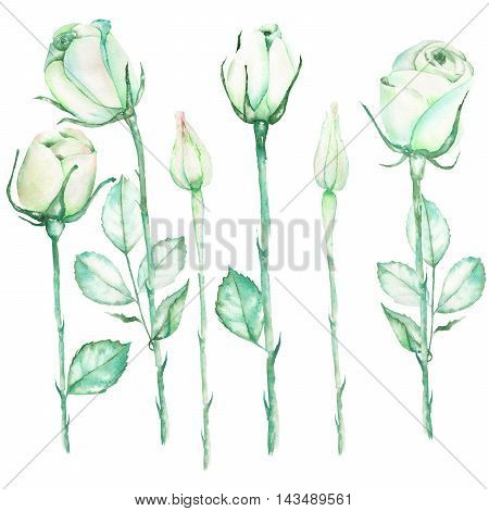 An illustration with the beautiful watercolor tender green roses painted on a white background