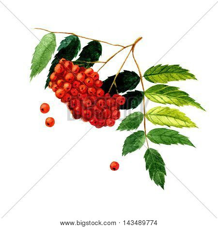 watercolor illustration depicting branches with rowan berries and leaves. drawing watercolor
